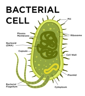 Dna 및 리보솜이 있는 바실러스 세포의 평면 스타일 라벨링 구조의 박테리아 세포 해부학