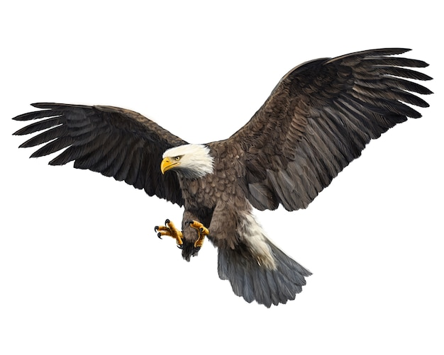 Bald eagle attack swoop hand draw on white