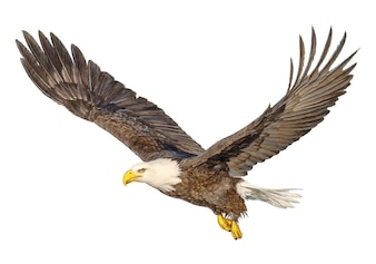 Bald eagle flying hand draw and paint color on white.