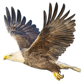 Bald eagle flying hand draw and paint on white