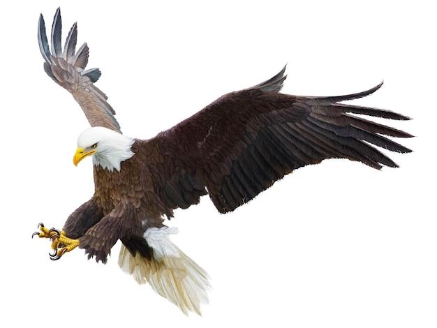 Белоголовый орлан, летящий намахом, атакует рукой, рисовать и красить цвет на белом фоне векторные иллюстрации.