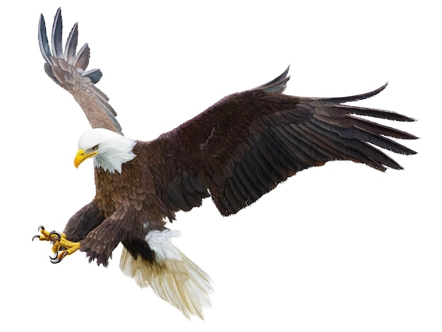 Bald eagle flying swoop attack hand draw and paint color on white background vector illustration.