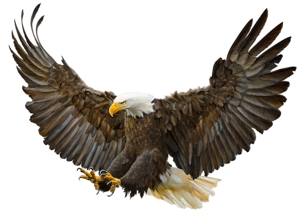 Bald eagle flying swoop hand draw and paint color.