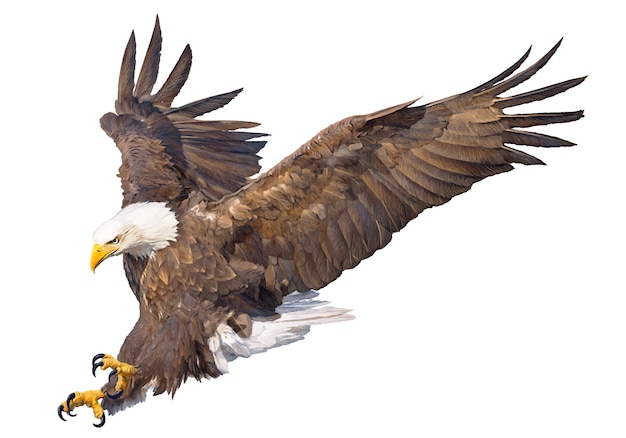Bald eagle swoop attack hand draw on white background.