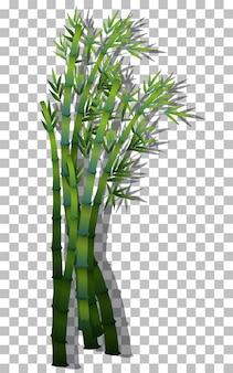 Bambù su sfondo trasparente