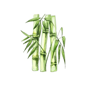 Bamboo trees with leaf. vector vintage hatching. isolated on white