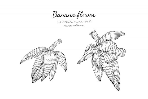 Banana flower hand drawn botanical illustration with line art