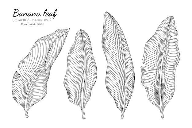 Banana leaf in hand drawn botanical illustration