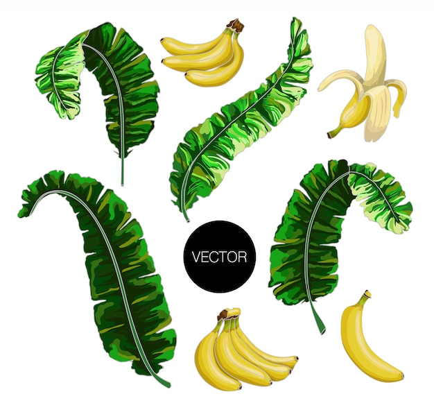 Banana leaves and fruits isolated. vector illustration.