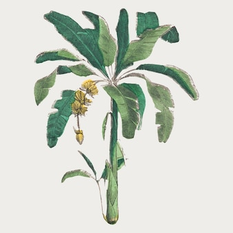 Banana tree  botanical art print, remix from artworks by by marcius willson and n.a. calkins