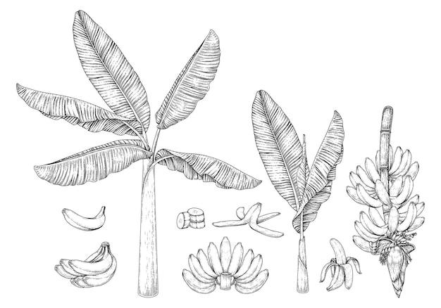 Illustrazione disegnata a mano della frutta e del fiore dell'albero di banana retrò