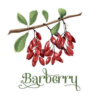 Barberry for lables