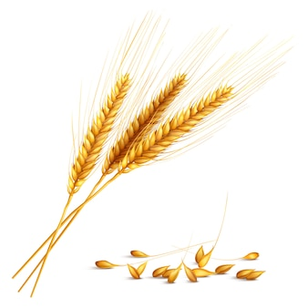 Barley grain illustration