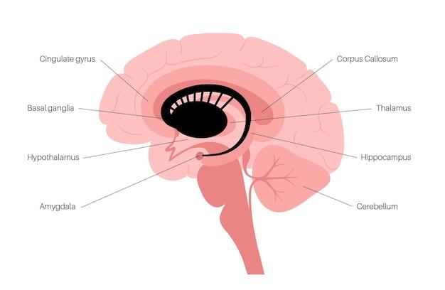 Basal ganglia and limbic system. human brain anatomy. cerebral cortex and cerebellum vector