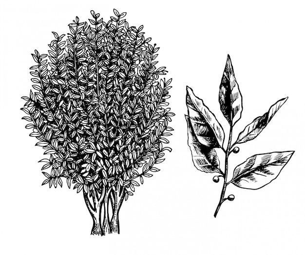 월계관 나무, 가지와 잎. 흰색 바탕에 잉크 스케치 손으로 그린 그림입니다. 레트로 스타일.