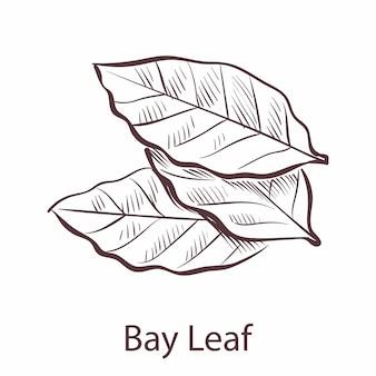 月桂樹の葉。調味料の月桂樹、ハーブの植物のスケッチ、ラベルとパッケージのレストランやカフェのメニューの料理のシンボルの刻まれたスタイルの単一のイラスト。ベクトル手描きの孤立した要素