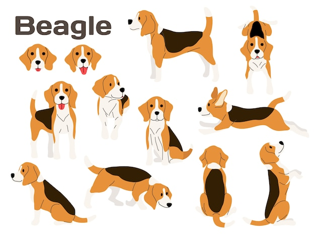 Beagle dog in action