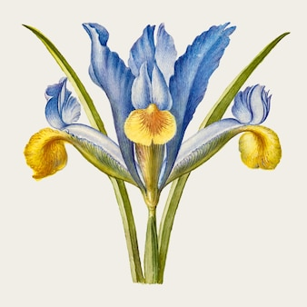 Fiore di iris barbuto disegnato a mano