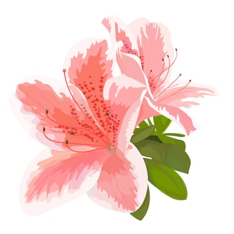 Beautiful azalea on white background