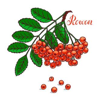 Красивая ветка спелой рябины. рисованная иллюстрация