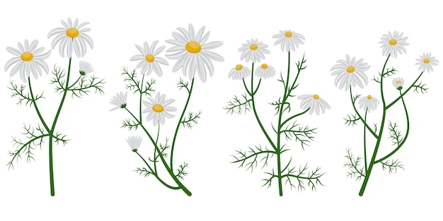 Beautiful chamomile set. daisies in cartoon style isolated on white background.