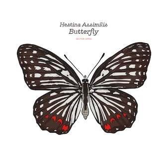 Beautiful colorful hestina assimilis butterfly