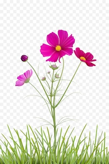 美しいコスモスの花と透明な背景の草