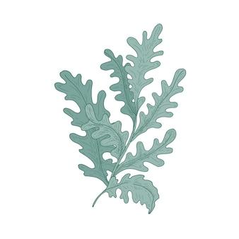 白で隔離の手描きの白い葉を持つ美しい装飾的なシネラリア