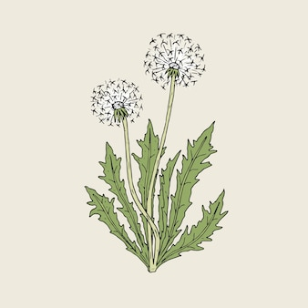 Beautiful drawing of dandelion plant with ripe seed heads or blowballs growing on green stems and leaves.