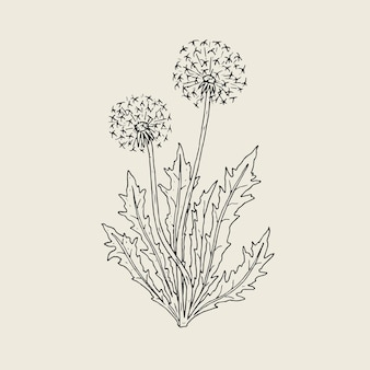 Beautiful drawing of dandelion plant with ripe seed heads or blowballs growing on stems and leaves