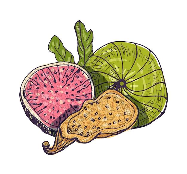 分離したおいしい新鮮で乾燥したイチジクの美しい図面。アンティークスタイルで描かれた熟した健康的な甘いデザートフルーツ手。装飾的組成物