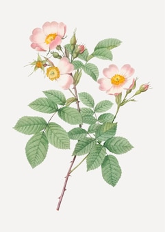 Beautiful field rose drawing