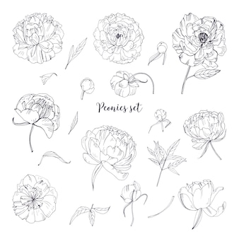 Beautiful peonies set. hand drawn blossom flowers, buds and leaves. black and white  illustration collection.