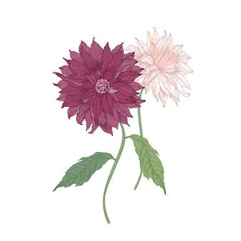 美しいピンクの咲くダリアの花と白い背景に手描きの葉。