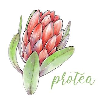 녹색 잎을 가진 아름다운 protea 꽃입니다. 수채화 그림