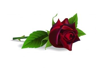 Beautiful red rose. Flower, botany, birthday. Romance concept.