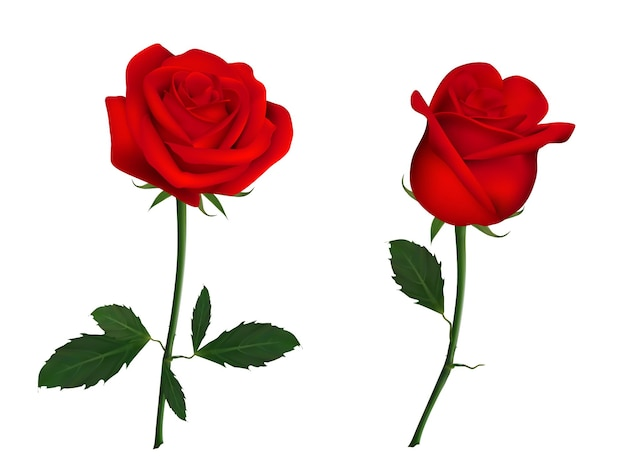 아름 다운 붉은 장미 꽃.