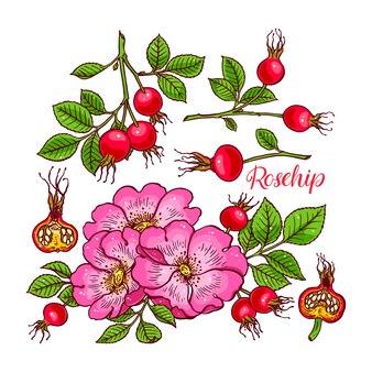 Dogrose 꽃과 과일의 아름다운 세트. 손으로 그린 그림