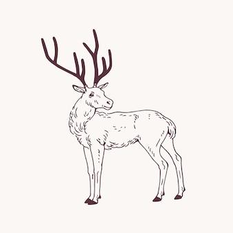 立っているオスの鹿、トナカイ、または鹿の角の美しいスケッチ画。明るい背景に等高線で描かれた優雅な森の動物の手描き。側面図。モノクロイラスト。