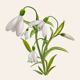 Beautiful snowdrop flowering plant illustration
