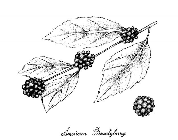白い背景の上のアメリカのbeautyberryの手描き