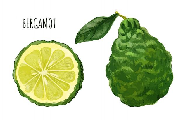 ベルガモット果実、葉と果実の半分、手描き