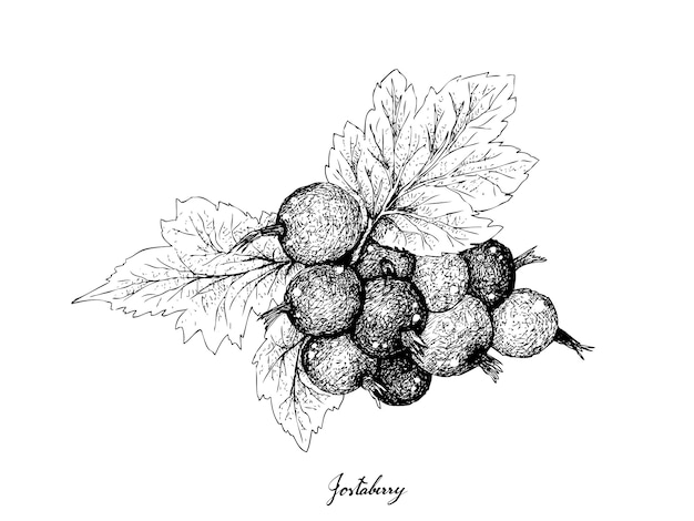 Berry fruit, illustration hand drawn sketch of jostaberries isolated on white