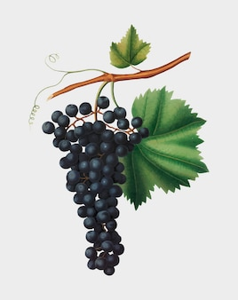 Berzemina grape from Pomona Italiana illustration