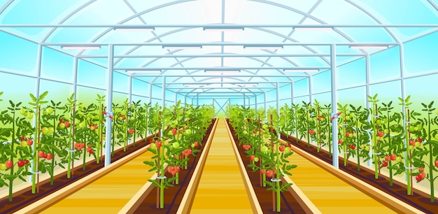 A big greenhouse with rows of tomatoes seedlings. cartoon illustration.