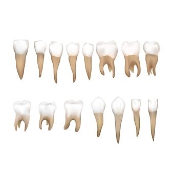 Big set of different realistic human teeths  on white