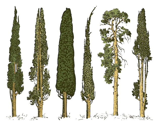 Big set of engraved, hand drawn tree include pine, olive and cypress, fir forest isolated object.