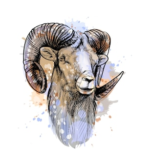 Bighorn sheep, mountain sheep from a splash of watercolor, hand drawn sketch.  illustration of paints