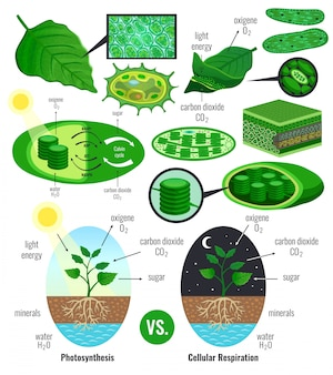 Biological photosynthesis infographic elements with light energy conversion calvin cycle scheme plants cellular respiration colorful