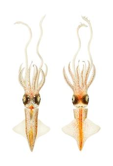 Биолюминесцентный кальмар в винтажном стиле
